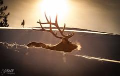 sun and elk (chasingthewildoutdoors) Tags: winter wild sun snow cold animal canon wildlife deer rays elk wapiti ynp 2016 yellowstonewildlife