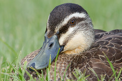 Pacific Black Duck - Anas superciliosa (Ian Colley Photography) Tags: portrait duck richmond depthoffield tasmania pacificblackduck anassuperciliosa