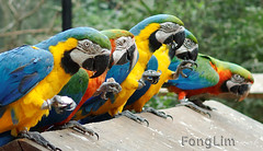 Macaw Lunch (Fong Lim) Tags: park travel parque brazil bird nature brasil america canon photography photos wildlife south sigma aves latin das dslr macaw tamron iguazu lim sud iguacu fong 30mm 60d 18270mm