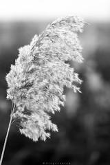 Bajo el sol y viento invernal (Dragos Voicu) Tags: winter wild naturaleza white plant black macro planta blanco sol nature monochrome closeup flora nikon village wind bokeh negro flor pueblo viento desenfoque invierno fullframe nikkor 70200 f4 vr meco dragos d610 monocromatico voicu nanocrystal