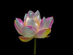 *** Peppermint Lotus (12bluros) Tags: pink white flower macro floral closeup blackbackground lotus bloom 1001nights nybg newyorkbotanicalgarden onblack lotusflower aquaticplant sacredlotus nelumbonucifera canonef100mmf28lmacroisusm 1001nightsmagiccity