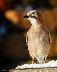 Eichelhher (Garrulus glandarius) (ulibrox) Tags: bird closeup tiere jay outdoor vgel nahaufnahme tier vogel on1 garrulusglandarius rabenvogel eichelhher rabenvgel perfecteffects