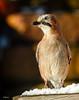 Eichelhäher (Garrulus glandarius) (ulibrox) Tags: bird closeup tiere jay outdoor vögel nahaufnahme tier vogel on1 garrulusglandarius rabenvogel eichelhäher rabenvögel perfecteffects