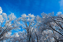 Visiting Family (Jon Siegel) Tags: trees winter usa snow cold ice america nikon massachusetts 14 sigma bluesky treetops 24mm magnificent walpole 24mmf14 d810 sigma24mmf14art