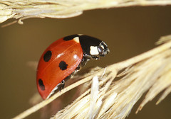 7 Spot Ladybird (Prank F) Tags: macro nature closeup insect wildlife beetle ladybird ladybug wildlifetrust 7spot northantsuk southwickwood