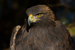 Golden eagle (Phiddy1) Tags: ontario canada birds eagle goldeneagle crc