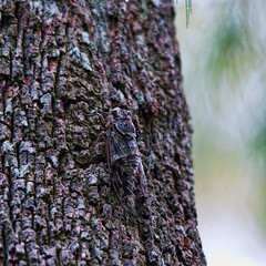 Well disguised (J-C-M) Tags: tree cicada insect bark toowoomba camouflaged