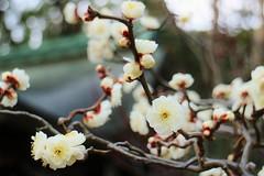 Japanese apricot '  Unryu-Bai ' / Kyoto Kitano Tenmangu (maco-nonchR) Tags: flower japan japanese kyoto story  bloom apricot february ume  kitanotenmangu flyingdragon heianperiod   sugawaranomichizane  unryubai