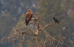 Golden eagle (Zahoor-Salmi) Tags: camera pakistan macro nature birds animals canon lens photo tv google flickr natural action wildlife watch bbc punjab wwf salmi walpapers chanals discovry beutty bhalwal zahoorsalmi