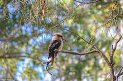 Kookaburra (chogokinjawa) Tags: trees summer bird nature fauna nikon dof bokeh oz wildlife sigma australia depthoffield arbres wa aussie oiseau westernaustralia kookaburra downunder australie naturephotography australianwildlife australiansummer faune sigmalens nikondslr profondeurdechamp southhemisphere nikond90 augustawa sigma18250mmf3563 sigmamacrohsm january2016