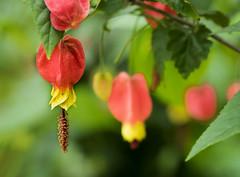 Abutilon megapotamicum (Roniyo888) Tags: red yellow vine abutilon climber trailing megapotamicum
