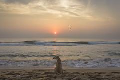 Marina Beach, Chennai, Tamilnadu, India (Naveen Gowtham) Tags: life morning light sea dog sun india beach nature marina sunrise canon alone ngc efs1855mm sealife lonely ng marinabeach chennai seashore tamilnadu bessie nationalgeographic cwc naveen doglovers incredibleindia canon600d gnaveen chennaiweekendclickers naveensphotography ilovechennai efs1855mmf3556isii naveengowtham naveeng naveenrajgowthaman naveenrajg