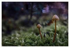 A little landscape (s1nano) Tags: macro tree nature mushroom forest moss woods dof bokeh fungi greece fungus fungo deepinthewoods littlelandscape nikond7000 micronikkorafs40mm128g mushroominnature
