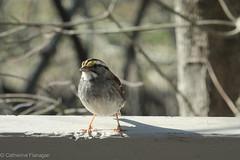 Hi everyone! Great Backyard Bird Count this weekend (Castilleja19) Tags: winter birds virginia whitethroatedsparrow greatbackyardbirdcount gbcc