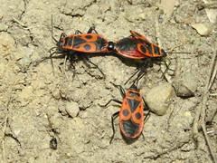 +IMG_0126_cr  Verklt bodobcsok (Pyrrhocoris apterus) przsa megfigyelvel - a nstny beteg (NagySandor.EU) Tags: mating abnormal deformed pyrrhocoridae pyrrhocorisapterus torz verkltbodobcs przs deformlt