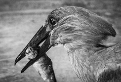 DSC_9981-1 (craigchaddock) Tags: hamerkop scopusumbretta scrippsaviary sandiegozoo hammerkopf hammerhead hammerheadstork umbrette umberbird tuftedumber anvilhead hammerkop monochrome blackandwhite bw 6400 iso6400