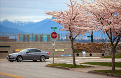 BMW & The Blossoms (Clayton Perry Photoworks) Tags: vancouver bc canada explorebc explorecanada richmond richmondbc terranova trees cherryblossoms pink street sakura