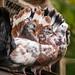 Taube%2C+pigeon