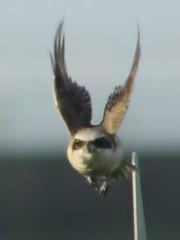Head On (CharlesLam) Tags: bird taiwan laniusschach longtailedshrike kclama