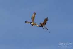 Bald Eagles battle for breakfast - Sequence - 15 of 42