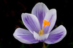 a breath of spring (hloklm) Tags: blume makro krokus frhling frhlingsblume