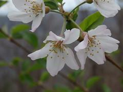 P3190017 (kevinandrewmassey) Tags: flowers flora n wildflowers linvillegorge