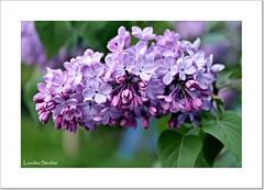 Un ramillete de Lilas (Lourdes S.C.) Tags: flowers naturaleza flores flower plantas flor lilas