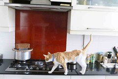 The Man Who Mistook His Cat for Nigella Lawson (Mayank Austen Soofi) Tags: man kitchen cat for who his lawson nigella the alal mistook delhiw