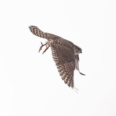 Merlin - Falco columbarius - Smyrill (*Jonina*) Tags: iceland sland faskrudsfjordur fskrsfjrur birds fuglar merlin falcocolumbarius smyrill jnnagurnskarsdttir 500views 25faves