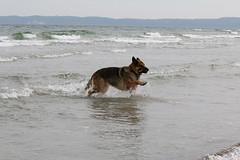 Rgen 2016 (dulli2010) Tags: dog pet dogs water strand tiere meer wasser hund gras germanshepherd rgen ostsee ruegen hunde tier gsd deutscherschferhund