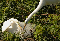 3S5X0204  Sharing the Load (Eileen Fonferko) Tags: nature birds animals wildlife nesting greategrets breedingplumage