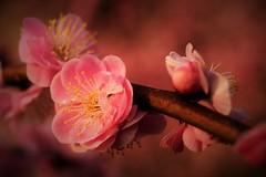 ✪大縣神社の梅園③ -愛知県犬山市- (m-miki) Tags: japan blossoms plum 愛知 梅園 犬山 梅 d610 紅梅 大縣神社