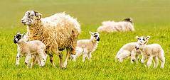 Follow Me (photoga photography) Tags: england nature animals canon sheep farmlife animalkingdomelite photogaphotography