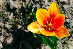 Tulipa (rozsaphotography) Tags: color slr beautiful leaves digital leaf spring nikon hungary tulip mm nikkor dslr 18 plantae 55 blume termszet magyar vr tavasz virg tulipa frhling magyarorszg liliaceae tulipn liliales liliopsida magnoliophyta nvny sznes digitlis hungarica d3300 lilioideae