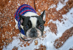 Little Romeo (A Great Capture) Tags: park old winter dog chien pet snow toronto ontario canada cold cute animal puppy sweater eyes sitting photographer january 8 ground canadian bulldog romeo doggy leash pup avenue month janvier eastend broadview on agc riverdale ald ash2276 adjm highqualitydogs ashleylduffus wwwagreatcapturecom agreatcapture