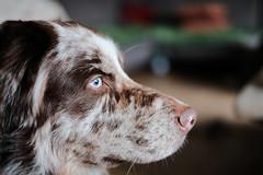 Jamie (unbunt.me) Tags: dog hund aussie australianshepherd fujixpro2