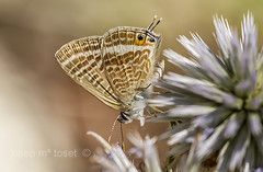 lampides boeticus (Josep M.Toset) Tags: macro nikon catalunya animalia arthropoda insectes plantes baixcamp d800 bosc insecta lycaenidae papallones polyommatini heteroneura glossata lepidpter josepmtoset
