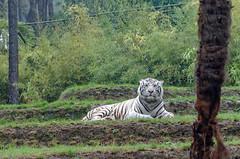 20150883 (d.sag) Tags: france zoo pentax dxo animaux tigre whitetiger k5 sarthe paysdelaloire laflche tigreblanc