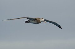 World's Widest Wingspan (Tim Melling) Tags: georgia south flight wandering albatross diomedea exulans timmelling