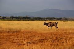 Coming back home (StgoDiaz) Tags: naturaleza nature kenya safari sabana saburu nakumara