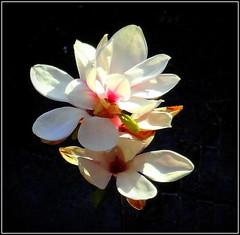Magnolia Cluster (dimaruss34) Tags: newyork flower brooklyn image dmitriyfomenko