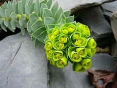 Walzen-Wolfsmilch (Jrg Paul Kaspari) Tags: flower fleur spring euphorbia blte mrz konz frhling schiefer kreisel sukkulente immergrn gelbgrn euphorbiamyrsinites blaugrn walzenwolfsmilch bltenstnde myrsinites trugdoldige