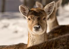 Fallow deer  Daim (Chizuka2010) Tags: winter animal fauna deer fallowdeer daim faune