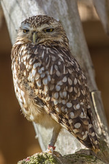 Burrowing owl (andymulhearn) Tags: canon burrowingowl canonef70200mmf4lusm flickrbirds eos7d2 cotswoldbirdland