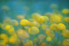 dreaming in blue & yellow (stacey catherine) Tags: blue texture nature yellow garden botanical buttons dreaming dreamy layers impressionist