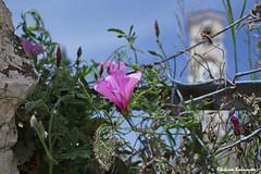 Lavrio (Eleanna Kounoupa) Tags: flowers blue sky nature spring steeple greece wildflowers attica      lavrion        kamariza