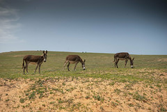 Brazil - Jericoacoara (Nailton Barbosa) Tags: brazil brasil three nikon jericoacoara bresil donkeys brasilien capim burro pasto cear jumento litoral burros brasile ce nordeste brsil jeri d80 jegues jumentos