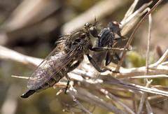 Dysmachus trigonus f - 19 IV 2016 (el.gritche) Tags: france female 40 behavior diptera asilidae predation dysmachus dysmachustrigonus trigonus