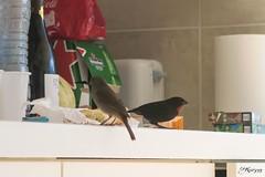 Femme de quiscale merle et rouge-gorge dans ma cuisine (Kri1978) Tags: jaune ventre merle oiseaux guadeloupe gwada quiscale antille sucrier sikrié