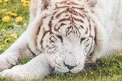 _XT12877 (Kazuky Akayashi) Tags: wildlife fujifilm whitetiger wildlifephotography xt1 parcdesflins fujixt1 fujinonxf100400f4556rlmoiswr